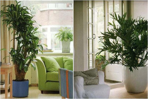 Вечнозеленые комнатные растения